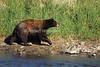 Black Bear, Ursus americanus, Walking near a Stream,Controlled Conditions, Montana, USA, North America