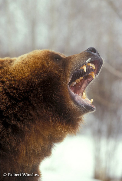 Snarlling Brown Bear or Grizzly Bear (Ursus arctos horribilus), Controlled Conditions
