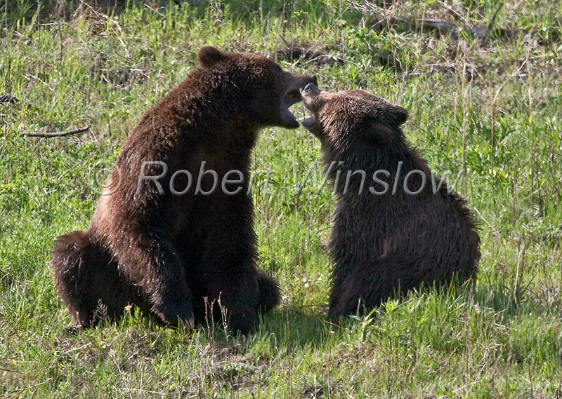 Two Grizzly Bears, Ursus arctos horribilis, Yellowstone National Park, Wyoming, USA, North America