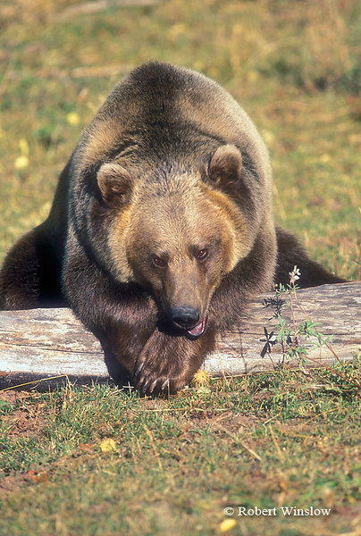 Brown Bear or Grizzly Bear Resting with Head on Paws, Controlled Conditions