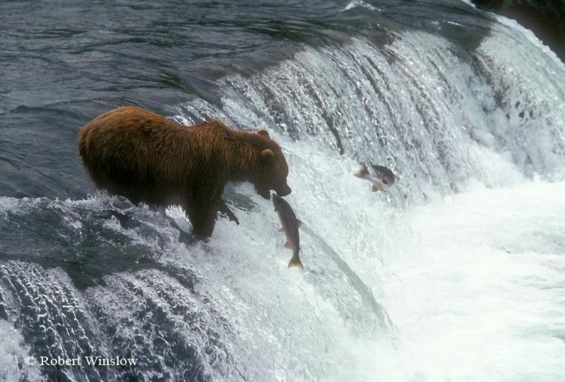 Alaskan Brown Bear (Ursus arctos) Feeding on Salmon, Brooks Falls, Brooks River, Katmai National Park, Alaska