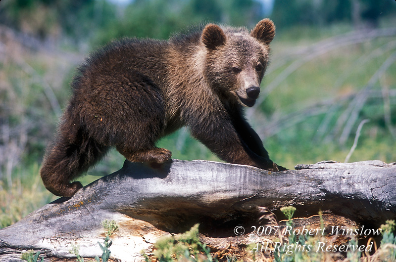 Young Brown Bear or Grizzly Bear, Controlled Conditions