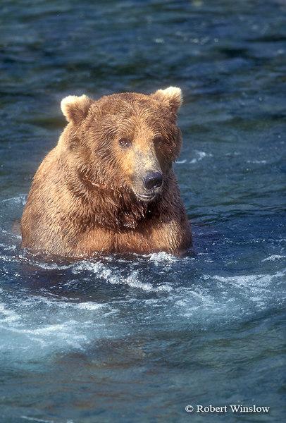 Alaskan Brown Bear (Ursus arctos) Feeding on Salmon, Brooks River, Katmai National Park, Alaska