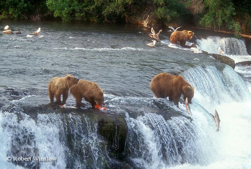 Alaskan Brown Bears (Ursus arctos) Feeding on Salmon, Brooks Falls, Brooks River, Katmai National Park, Alaska