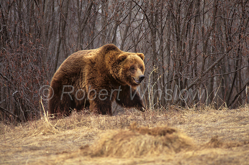 Brown Bear or Grizzly Bear, Ursus arctos horribilus, Controlled Conditions