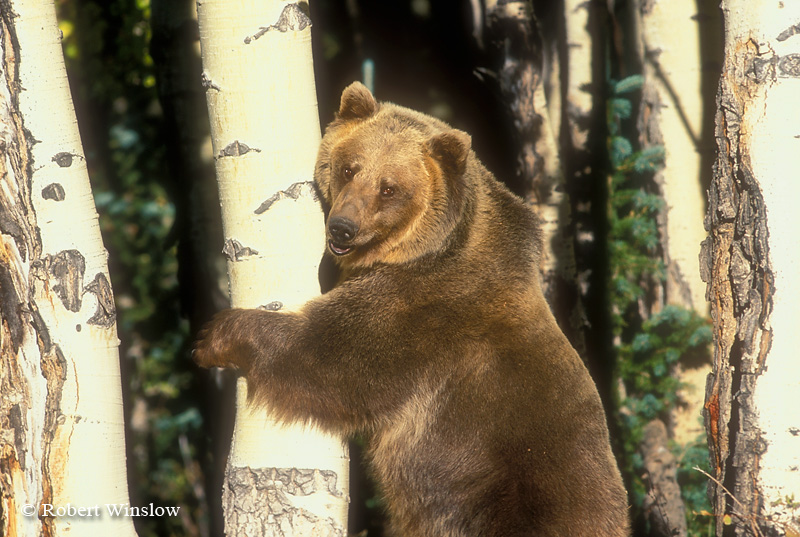 Standing Brown Bear or Grizzly Bear, Controlled Conditions