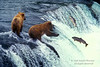 Young Alaskan Brown Bears, Ursus arctos middendorffi, Feeding on Salmon, Brooks Falls, Brooks River, Katmai National Park, Alaska