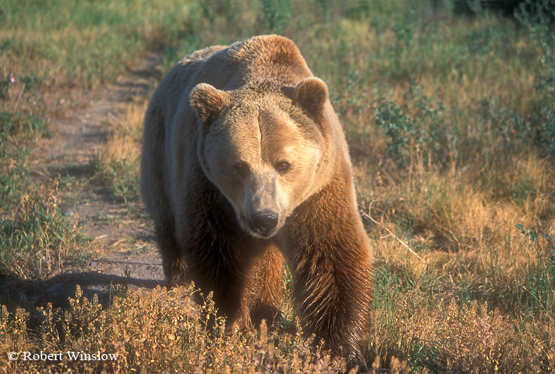 Brown Bear or Grizzly Bear (Ursus arctos horribilus), Controlled Conditions