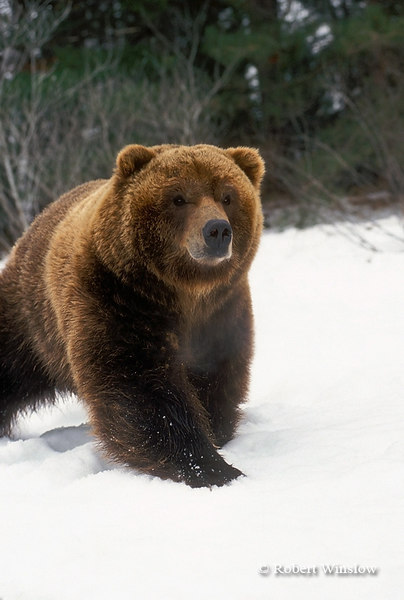 Grizzly Bear on Snow, Winter