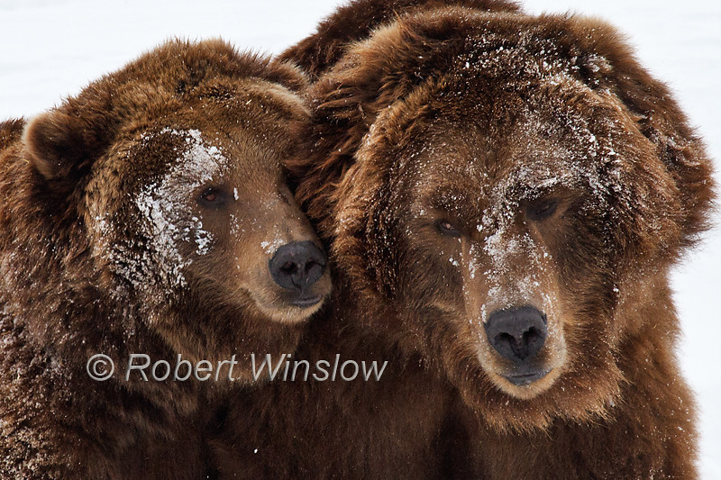 Two Alaskan Coastal Brown Bears, Female on the Left, Male on the Right, Siblings, Grizzly and Wolf Discovery Center, West Yellowstone, Montana, USA, North America, Written permission granted to market this image