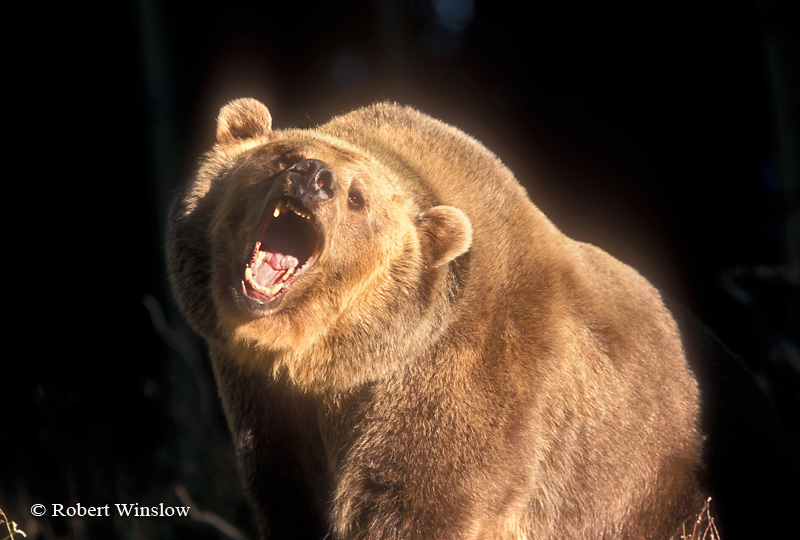 Snarlling Brown Bear or Grizzly Bear, Controlled Conditions