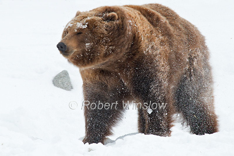 Alaskan Coastal Brown Bear, Grizzly and Wolf Discovery Center, West Yellowstone, Montana, USA, North America, Written permission granted to market this image