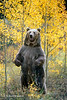 Standing Brown Bear or Grizzly Bear (Ursus arctos horribilus), Controlled Conditions