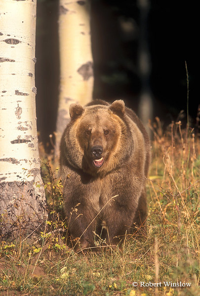 Brown Bear or Grizzly Bear in Aspen Trees, Controlled Conditions