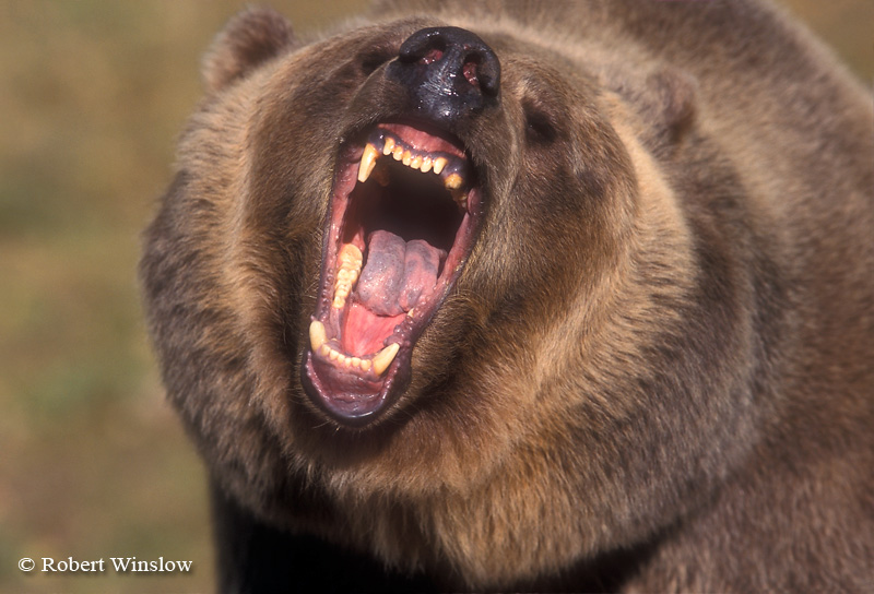 Snarling Brown Bear or Grizzly Bear (Ursus arctos horribilus), Controlled Conditions