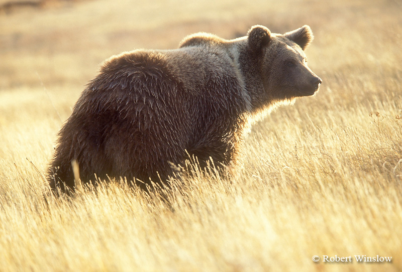 Sub Adult Brown Bear or Grizzly Bear (Ursus arctos horribilus), Controlled Conditions