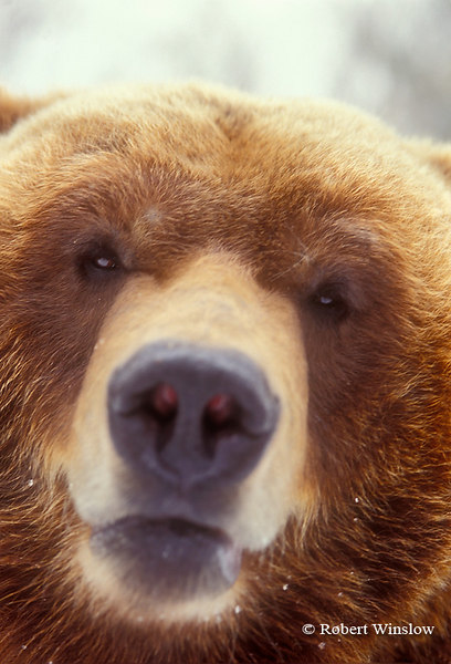 Brown Bear or Grizzly Bear, Controlled Conditions