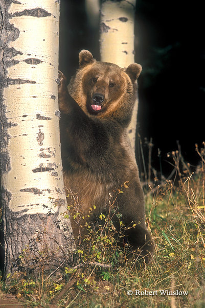 Brown Bear or Grizzly Bear (Ursus arctos horribilus) Standing by an Aspen Tree, Controlled Conditions