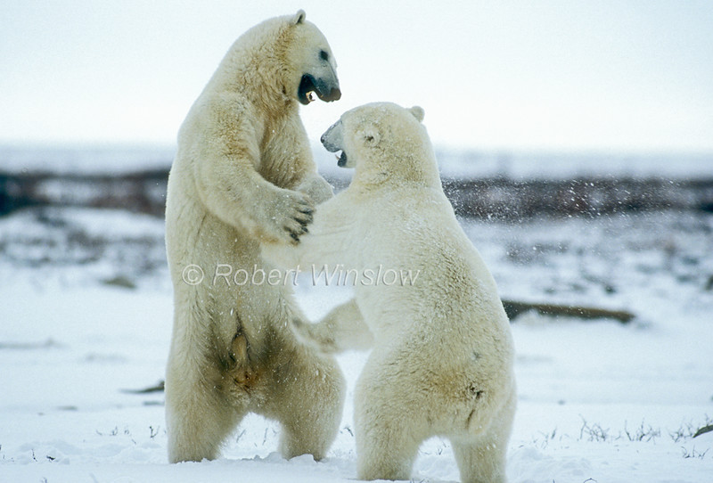 Two Polar Bears Sparring, (Ursus maritimus), Near Churchill, Manitoba, Canada