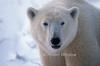 Polar Bear BR-03W1WM