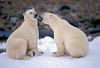 Two Polar Bears about to Spar, Ursus maritimus, Near Churchill, Manitoba, Canada