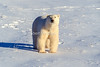 Polar Bear (Ursus maritimus), Hudson Bay Area Near Churchill, Manitoba, Canada