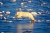 Polar Bear, Ursus maritimus, Jumping on Slick Ice, Hudson Bay, Near Churchill, Manitoba, Canada