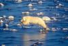 Polar Bear, Ursus maritimus, Jumping on Slick Ice, Hudson Bay, Near Churchill, Manitoba, Canada