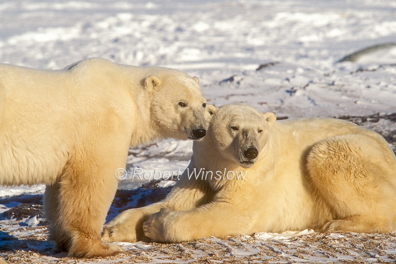 Two Polar Bears, (Ursus maritimus), Near Churchill, Manitoba, Canada