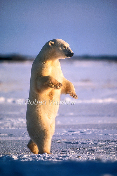 Polar Bear (Ursus maritimus) Standing on its Hind Legs, Hudson Bay Area Near Churchill, Manitoba, Canada