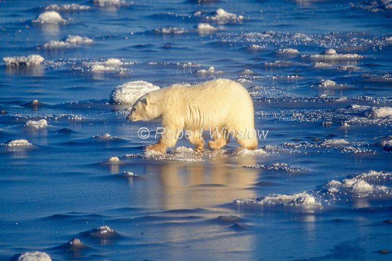 Polar Bear (Ursus maritimus) on Frozen Tidal Flats of Hudson Bay Near Churchill, Manitoba, Canada