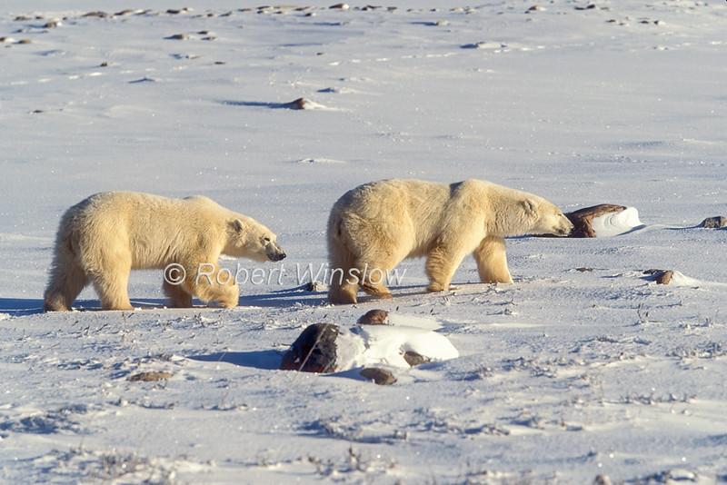 Two Polar Bears, Ursus maritimus, Hudson Bay Area Near Churchill, Manitoba, Canada