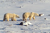 Two Polar Bears, Ursus maritimus, Hudson Bay Area Near Churchill, Manitoba, Canada