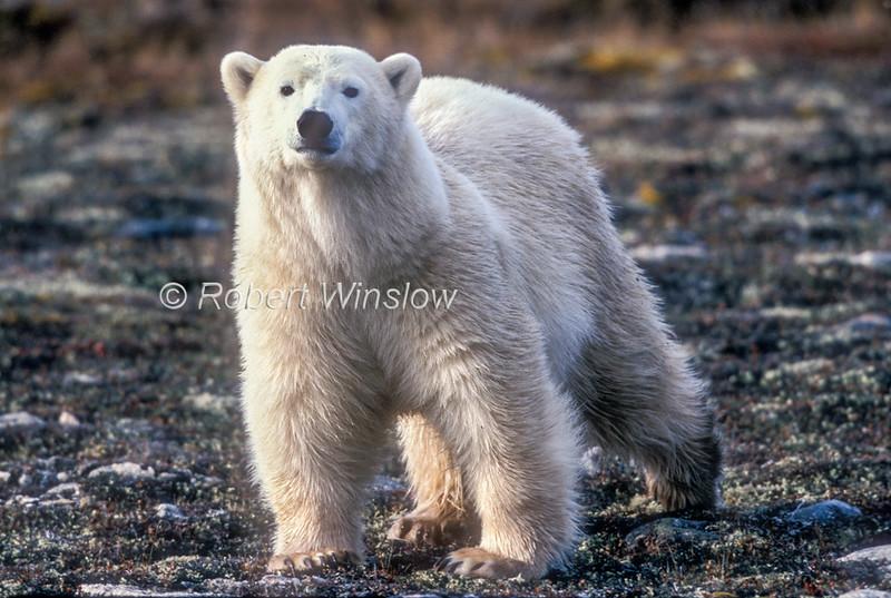 Polar Bear (Ursus maritimus), No Snow on ground, Hudson Bay Area Near Churchill, Manitoba, Canada