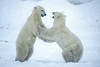Two Polar Bears, Ursus maritimus, sparring, Near Churchill, Manitoba, Canada