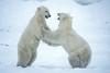 Two Polar Bears, Ursus maritimus, sparring, Near Churchill, Manitoba, Canada