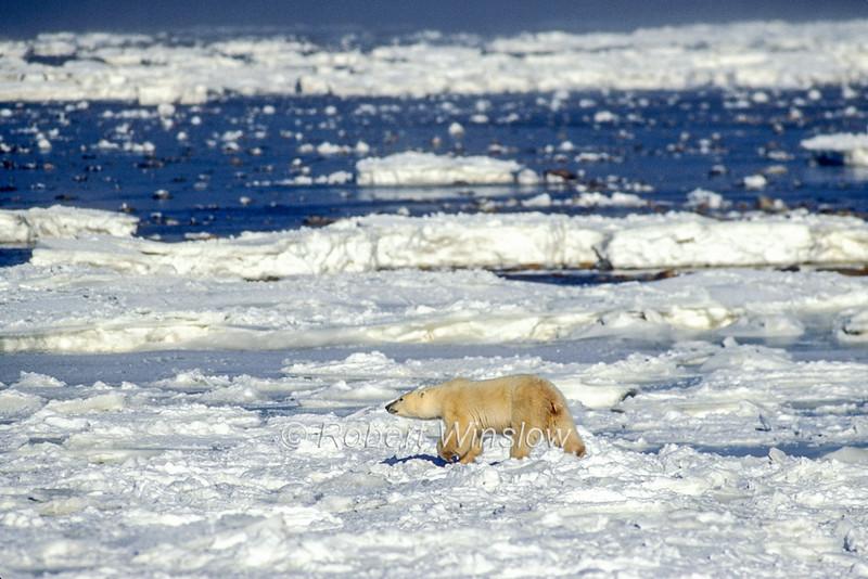 Polar Bear (Ursus maritimus) on Pack Ice of Hudson Bay Near Churchill, Manitoba, Canada