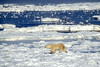 Polar Bear (Ursus maritimus) on Pack Ice of Hudson Bay Near Churchill, Manitoba, Canada