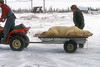 Polar Bear (Ursus maritimus) Being Taken from Polar Bear Jail for  Transportation and Relocation via Helicopter, Churchill, Manitoba, Canada, North America