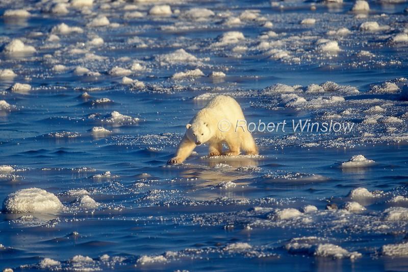 Polar Bear (Ursus maritimus) on Ice, Hudson Bay Near Churchill, Manitoba, Canada