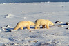 Twp Polar Bears, Ursus maritimus, Hudson Bay Area Near Churchill, Manitoba, Canada