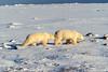 Twp Polar Bears, Ursus maritimus, Hudson Bay Area Near Churchill, Manitoba, Canada