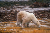 Polar Bear (Ursus maritimus), No Snow or Ice, Appears to be Eating Grass or Seaweed,  Coastal Area of Hudson Bay Near Churchill, Manitoba, Canada