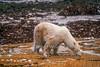 Polar Bear (Ursus maritimus), No Snow or Ice, Appears to be Eating Grass or Seaweed,  Coastal Area of Hudson Bay Near Churchill, Manitoba, Canada