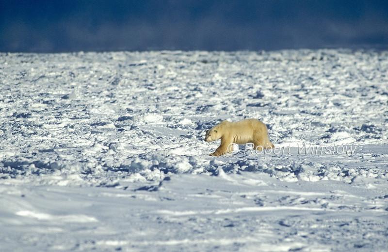 Polar Bear (Ursus maritimus) on Pack Ice, Hudson Bay Near Churchill, Manitoba, Canada