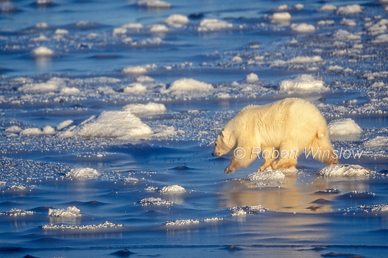 Polar Bear (Ursus maritimus) on Ice of Hudson Bay Near Churchill, Manitoba, Canada