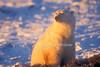 Polar Bear, Ursus maritimus, Sunset, Hudson Bay Area Near Churchill, Manitoba, Canada