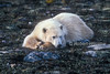 Polar Bear (Ursus maritimus), No Snow or Ice,  Coastal Area of Hudson Bay Near Churchill, Manitoba, Canada