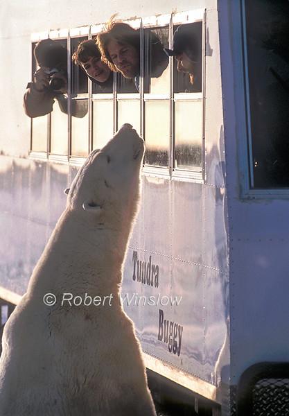 Polar Bear (Ursus maritimus) and Tourists, Hudson Bay Area Near Churchill, Manitoba, Canada
