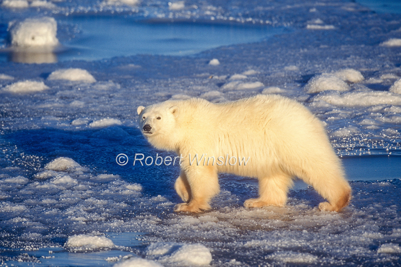 Polar Bear, Ursus maritimus, Hudson Bay Area Near Churchill, Manitoba, Canada